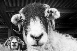 Here's looking at ewe, kid: some great pictures from the York Photographic Society